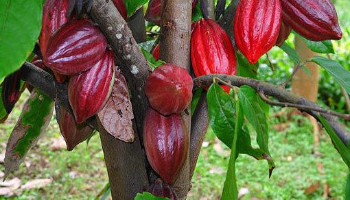 cacao-c