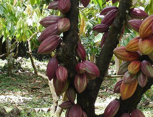 cacao-elite