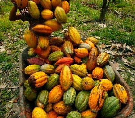 kakaoschoten-in-indonesien